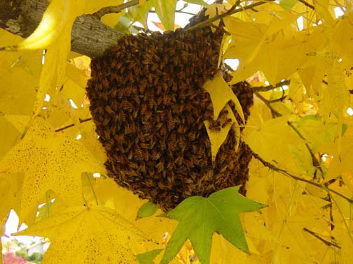Los Angeles Bee Removal Guys Picture of a 