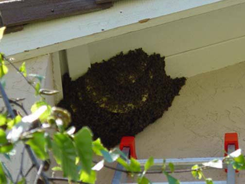 Bee Removal Los Angeles This is a 