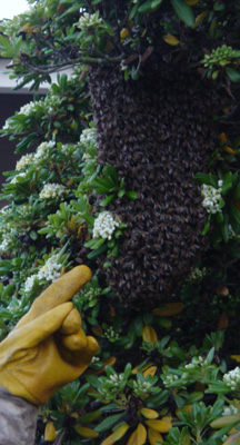 Live swarm removal from a tree.