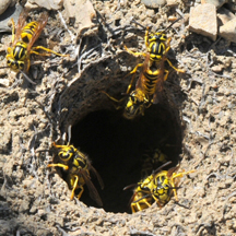 Yellow Jacket Removal Los Angeles CA